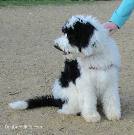A thick furred, black and white Yorkipoo is sitting in dirt and it is looking to the left. There is a person with there hand on its side.