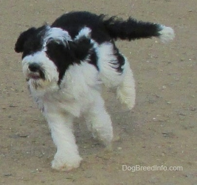 Action shot - A white and black Yorkipoo dog running across a dirt surface. Its ears are flopping around and its long tail is flying backwards.