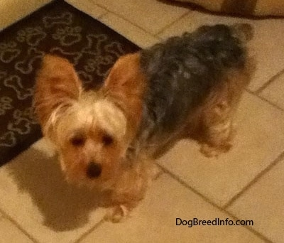 Teddy the Yorkshire Terrier at 1 year and 8 months old