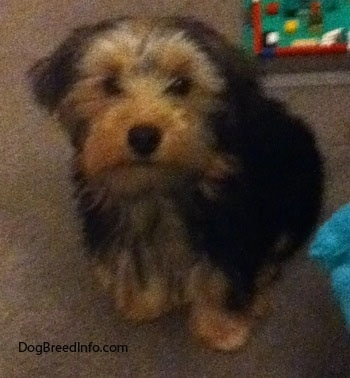 Toby the Yorkshire Terrier as a puppy at 4 months old