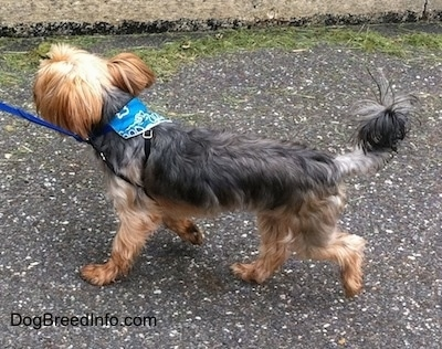 Nacho the Yorkshire Terrier