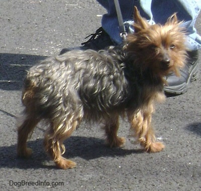 The back right side of a scruffy looking black and brown Yorkshire Terrier that is standing across a parking lot and it is looking forward. It has perk ears, a black nose and squinty eyes. Its tail is docked short. There is a person standing behind it.