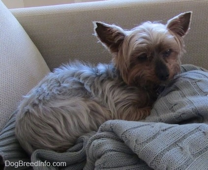 The right side of a white and black with brown teacup Yorkie that is laying on top of a sweater on top of a cushion. Its perk ears are set wide apart.