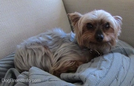 The right side of a cream and black with brown Yorkshire Terrier that is laying across a sweater. It is looking up and its ears are pinned back. It has wide round dark eyes and a big black nose.