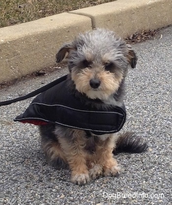A small, wavy-coated, black with tan Yorktese dog sitting in a street, it is wearing a coat and it is looking forward.
