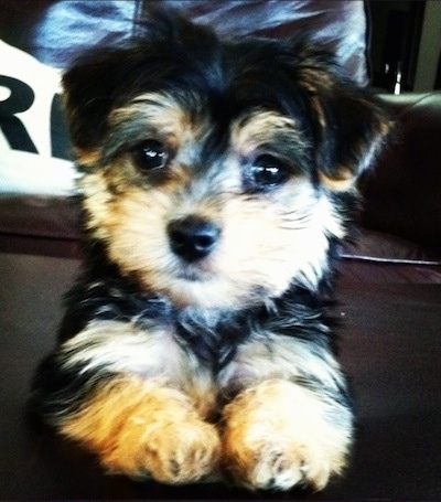 Murphy the Morkie (Yorkshire Terrier / Maltese hybrid dog) as a puppy