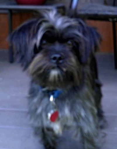 A scruffy-looking, small breed, black and grey with white Affen Tzu is standing on a deck in front of porch furniture.