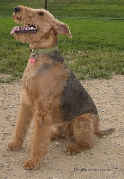 The front left side of a black with tan Airedale Terrier that is sitting in dirt with its mouth open and tongue out.