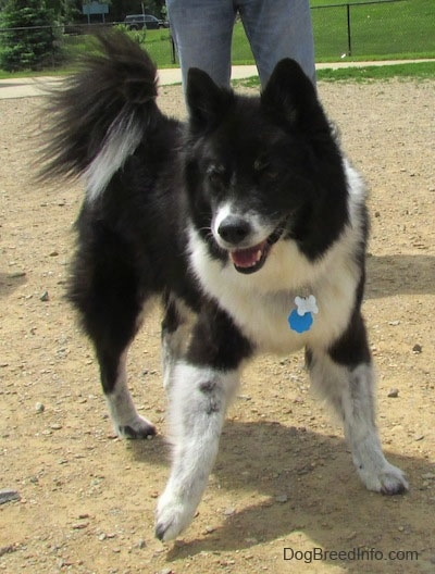 The front right side of a thick coated black with white Akita Chow thats playing in a dog park. The dog has a long tail that curls up over its back with long black hair on it and small perk ears with a big black nose and dark eyes.