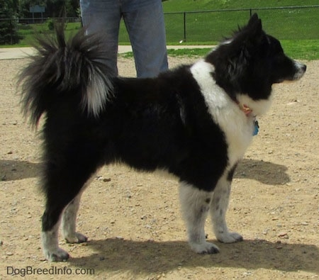 Akita Chow standing in a dog park - Left Profile. It has a tail that curles up over its back with long hair coming from it and small perk ears with a thick coat.