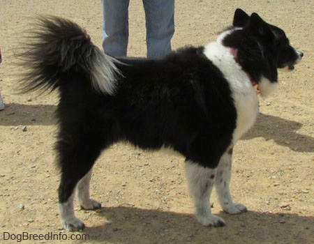 The left side of a black with white Akita Chow standing in a dog park. There is a persons legs behind it.