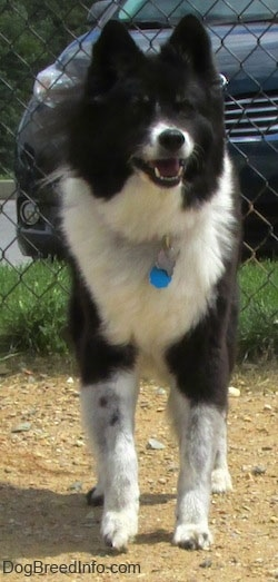 Front view - A black with white Akita Chow standing in a dog park in front of a chain link fence with a car in the background