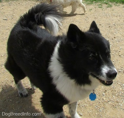 A black with white Akita Chow standing in a dog park. Another dog is sniffing around behind it.