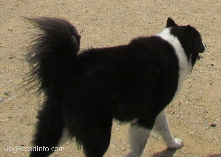 The back right side of a black with white Akita Chow that is walking up a dirt surface.