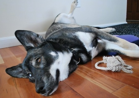Luna the Alaskan Husky laying on side with rope toy in front of her
