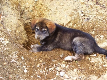 The left side of a black with gray Alaskan Malador puppy that is digging a hole.