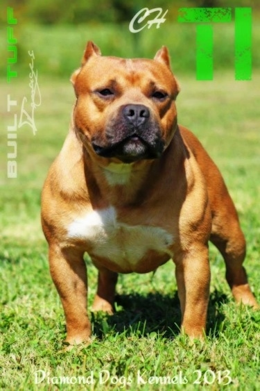 A red with white American Bully is taking a wide stance on grass and it is looking forward.