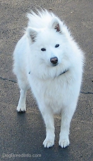 A white American Eskimo Dog is standing on a black top with its head tilted to the left