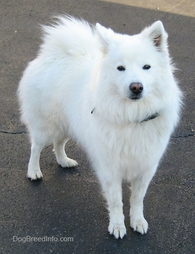 The front right side of a white American Eskimo Dog that is standing in a driveway