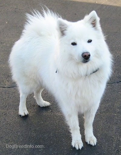 The front right side of a white American Eskimo that is standing in a parking lot.