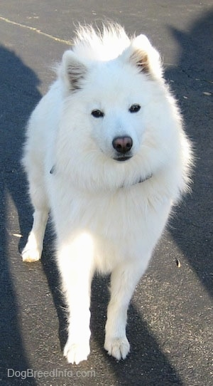 Chloe the American Eskimo Dog standing on a black top