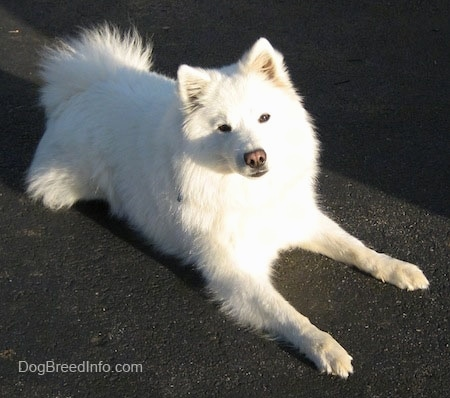 Chloe the american Eskimo laying down on a black top