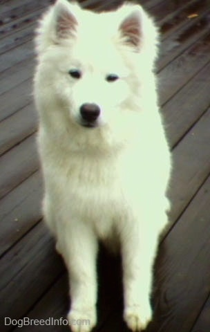 A white American Eskimo Dog is sitting on a wet wooden deck
