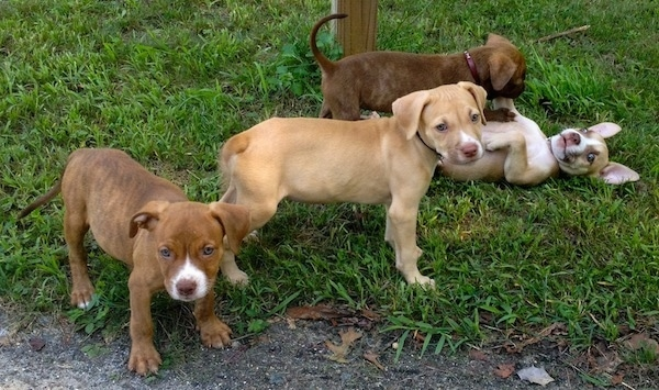 The right side of Four American Pit Corso puppies that are playing in a lawn and they are looking forward.