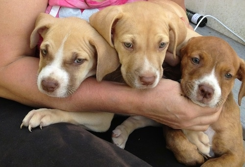 Close up - Three American Pit Corso puppies are laying in the lap of a lady and they are looking forward.