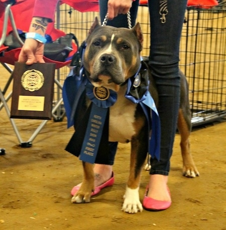 A black and brown with white Pit Bull Terrier, that has on three ribbons, is standing on dirt with an award next to it and there is a person standing overtop of it.