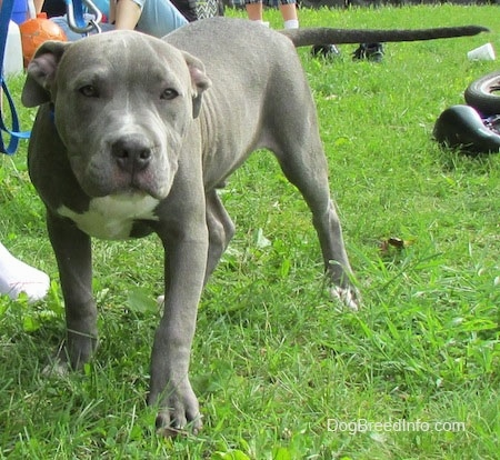 A blue-nose Pit Bull Terrier Puppy, with its head down, is standing in a yard. There is a line of people sitting to the left of it. The dog has a gray nose and a long tail that is level with its body.