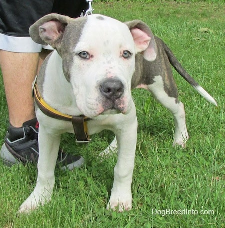 A white and gray Pit Bull Terrier Puppy is standing on grass, it is wearing a harness and there is a person standing to the left of it.