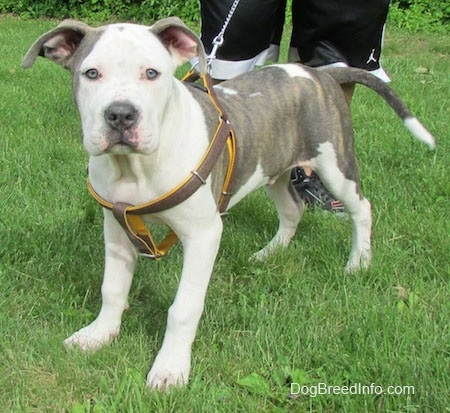 Rocky the Pit Bull Terrier Puppy standing on grass wearing a harness in front of a person