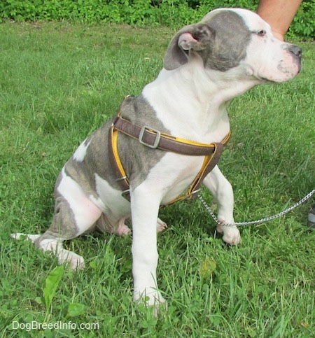 The front right side of a gray and white Pit Bull Terrier Puppy that is sitting on grass. It has its front left paw off of the grass and it is looking ot the right.