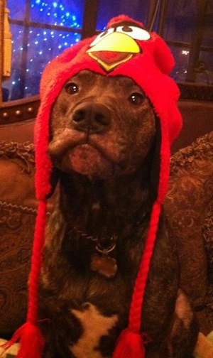 Buster the American Pit Bull Terrier sitting on a couch with an Angry Birds hat on