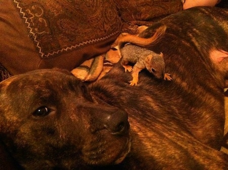 Pit Bull Terrier laying on a couch with a baby squirrel on top of it