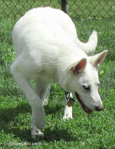 An American White Shepherd is walking around a lawn and it is looking at the grass under it.