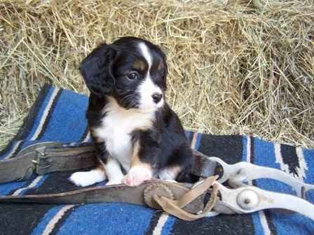 The front left side of a black with white and tan Aussalier puppy that is sitting on a blanket, it is surrounded by a horse halter and it is looking to the right.