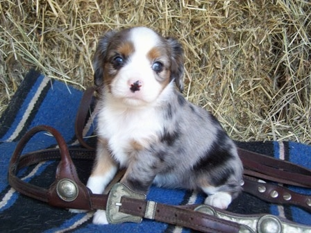 Aussalier puppy sitting on a blanket surrounded by a leather horse halter