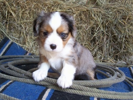 A blue merle Aussalier puppy that is sitting on a blanket, it is surrounded by a lasso and it is looking forward.