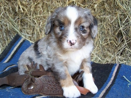 The front right side of a blue merle Aussalier puppy that is sitting on a blanket, next to a spur and it is looking forward.