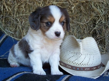 The front right side of a white with black and brown Aussalier puppy that is sitting next to a cowboy hat, on a blanket and it is looking forward.