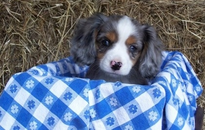 The head of a blue merle Aussalier puppy that is sitting in a basket and there us a hay bale behind it.