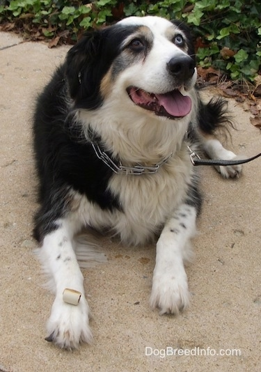 A tri-color Australian Shepherd is laying on sidewalk with a pinch collar and leash on. It is looking up, its mouth is open and its tongue is out.