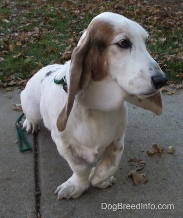 Max the Basset Hound standing outside on the sidewalk