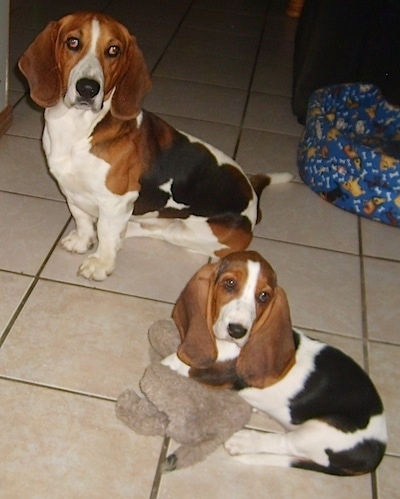 Buckle the Basset Hound sitting in a kitchen with Bella the Basset hound puppy who is laying on a plush toy