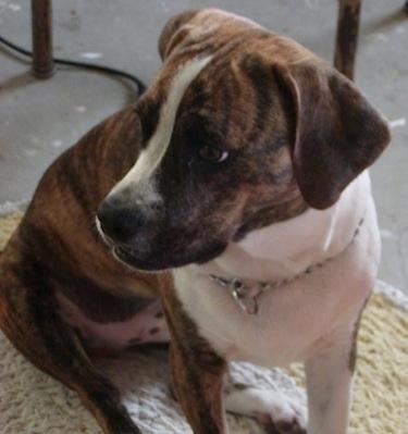American Canine Hybrid Club Beagleman Designer Dogs Kennel Club Dog ...