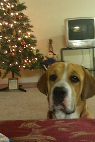 Big Boy the Beabull sitting in front of a couch with a christmas tree  and a TV in the background