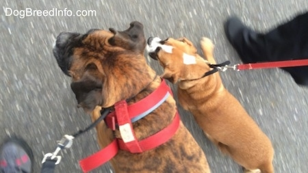 Bruno the Boxer and Luna the Beabull together on a pack walk walking side-by-side