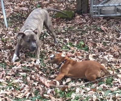 Luna the Beabull and Spencer the Pit Bull Terrier play bowing at one another